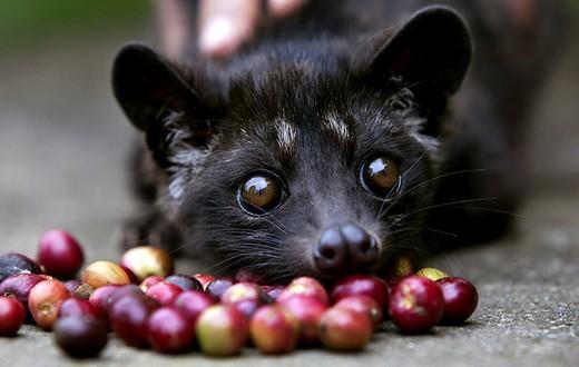 麝香貓咖啡